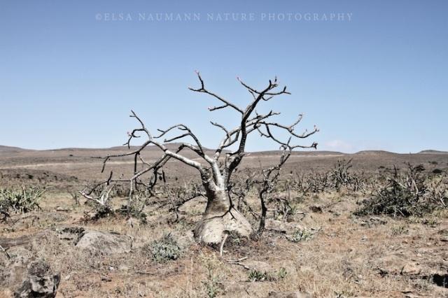 Baobab tree WM copy