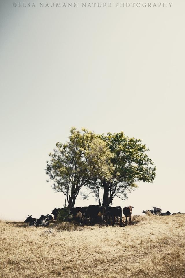 Cows in Dhofar WM S