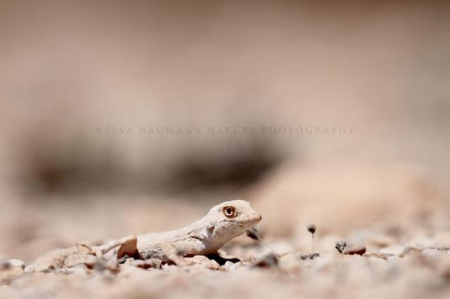 Francinscense gecko WM