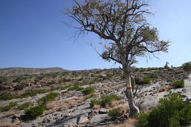 Jebel Shams marked tree