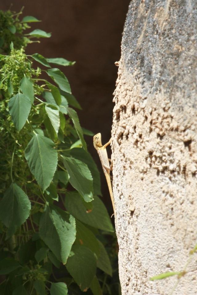 Oriental garden lizard copy