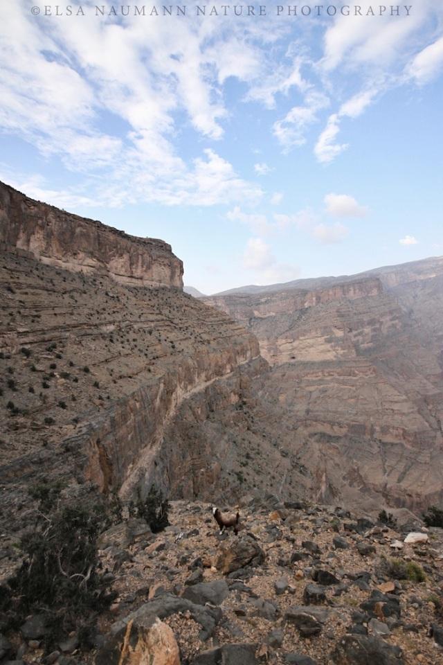 Wadi Ghul goat WM