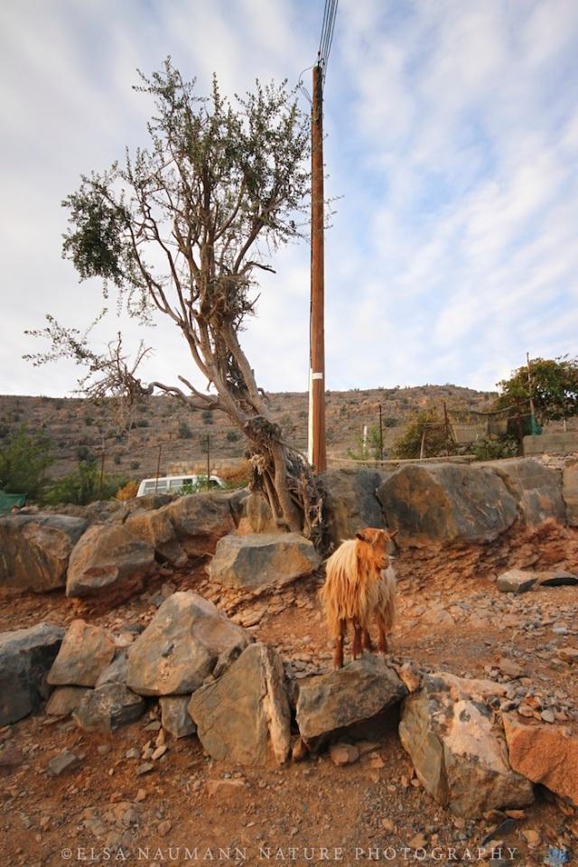 Wadi Ghul Village goat copy